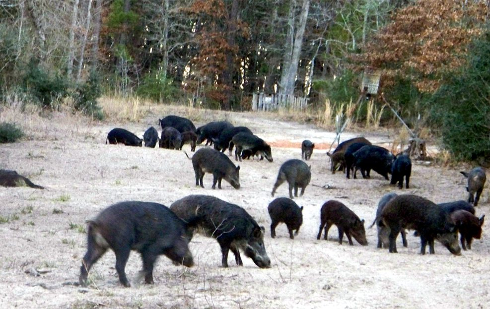 The Do's and Don'ts of Feral Hog Hunting