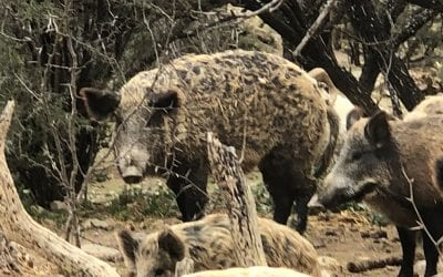 The Texas Hog Depredation Act